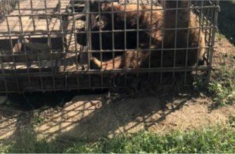 Успеет ли новый закон спасти медвежонка, мучающегося  от жестокого обращения? (0+)