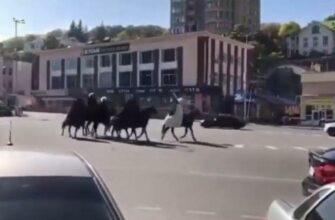 Шесть полицейских протоколов было составлено в связи с конным свадебным кортежем, нарушившим дорожное движение в центре Кисловодска