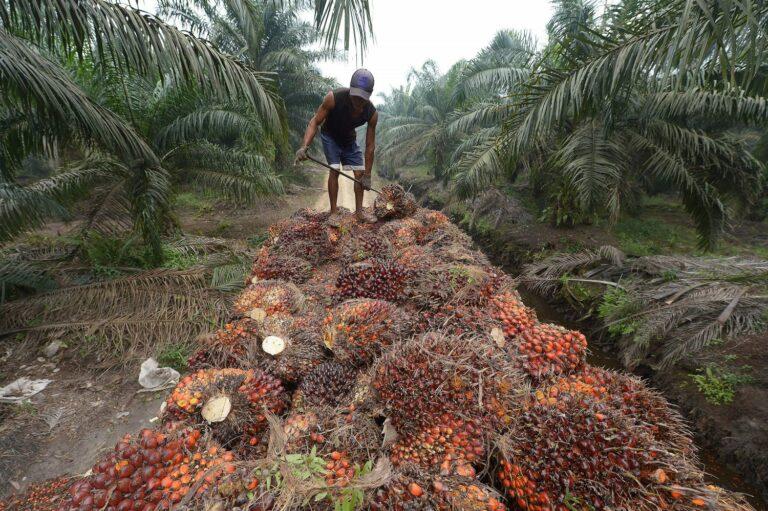Пища наша… О пальмовом масле