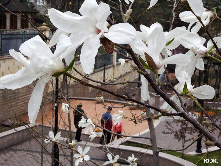 В Кисловодске цветут магнолии