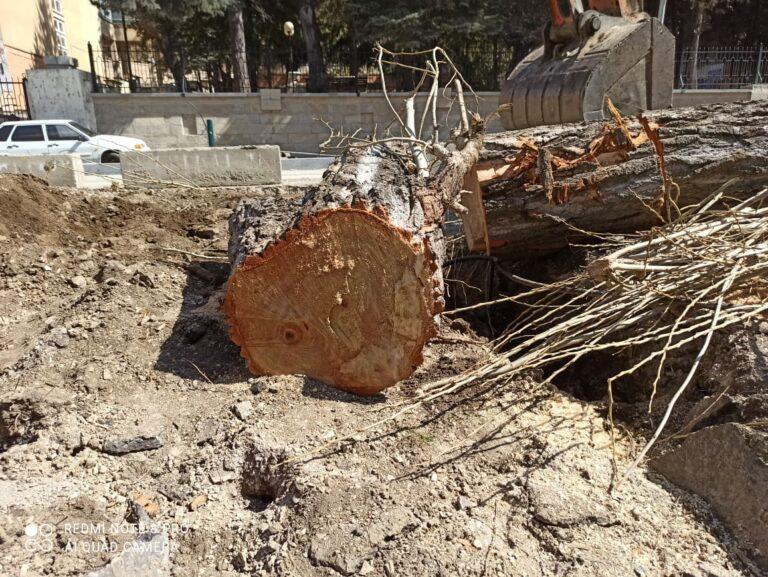 В Кисловодске спилили очередное взрослое дерево
