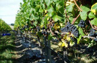 На Ставрополье в 2022 году господдержка виноградарей и виноделов составит 104 млн рублей